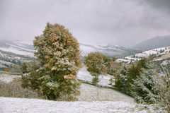 Snowfall in mountains. Snow on a green tree. Royalty Free Stock Photography