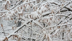Snowfall over branches stock footage