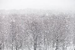 Snowfall over forest in winter day Stock Images