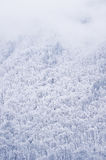 Snowfall over a pine tree forest Stock Image
