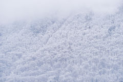 Snowfall over a pine tree forest. In winter season Stock Photography