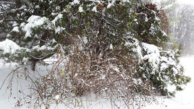 Snowfall in park - bushes with trees under snow. Snowfall in park - bushes and trees under snow Royalty Free Stock Image