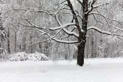 Snowfall in the park, snow covered big tree landscape. Beautiful winter weather concept. Royalty Free Stock Image