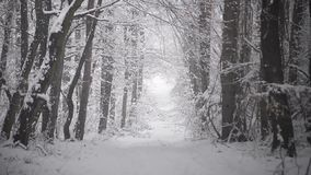 Snowfall on the path in the forest. Forest path in the wood between the tree strains in winter period with snowfall stock video