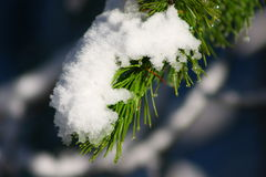 Snowfall on pine bough Stock Photography