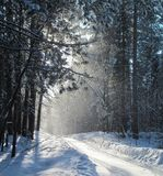 Snowfall in a pine forest. In February, in the afternoon royalty free stock image