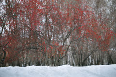 Snowfall with red berries on background. Snowfall with red berries and trees on background Stock Photo