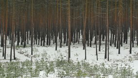 Snowfall in a red pine forest stock video