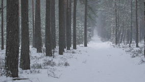 Snowfall in a red pine forest stock video footage