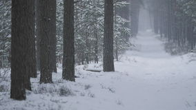 Snowfall in a red pine forest. Snowfall in a snow covered red pine forest stock video
