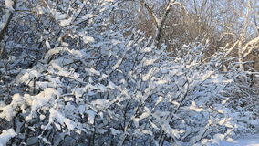 Snowfall on snow covered tree branches in. Snowfall on the snow covered tree branches in beautiful winter park stock video