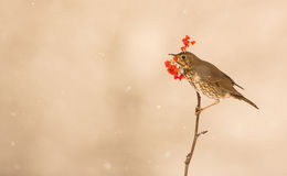 Song Thrush eating a berry Royalty Free Stock Photo