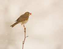 Song Thrush eating a berry Stock Photo