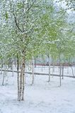 Snowfall in Spring Royalty Free Stock Images
