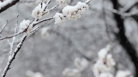 Snowfall in spring blooming fruit garden stock video footage