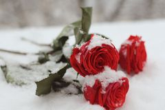 Snowfall. The Natural Environment. A Snowy Bouguet Of Bight Red Roses With Green Leaves Lyhg On The Snow Closeup. Stock Photography