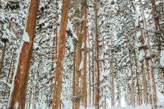 Snowfall in Trees stock photos