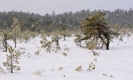 Snowfall in Viru bog, pines in foreground and forest in background royalty free stock photos