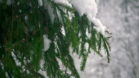 Snowfall. white snow lies on the branches of spruce. On the background of the winter forest stock video footage