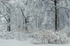 After a snowfall in the winter afternoon trees and bushes in the snow. Magical beautiful forest stock photo