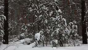 Snowfall in winter forest. stock footage