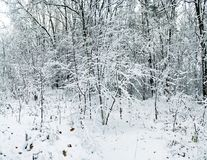 Snowfall in winter forest. Royalty Free Stock Photography