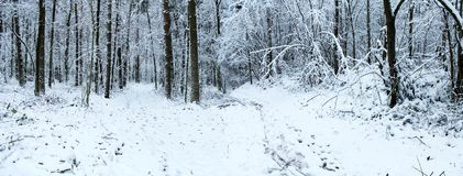 Snowfall in winter forest. Stock Photo