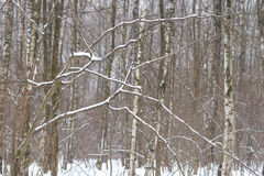 Snowfall in the winter forest Royalty Free Stock Images