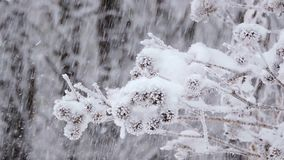 Snowfall in winter in the forest. Branches covered with snow sway in the wind.  stock footage