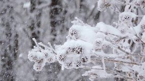 Snowfall in winter in the forest. Branches covered with snow sway in the wind.  stock video