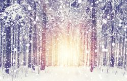 Snowfall in winter forest. Sunrise in frosty snowy forest. Christmas and New Year scene with snowflakes. Xmas background Stock Photo