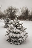 Snowfall. Winter snow covered fir trees. Russia. Royalty Free Stock Photo