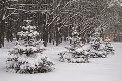 Snowfall. Winter snow covered fir trees. Russia. Royalty Free Stock Photos