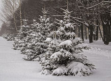 Snowfall. Winter snow covered fir trees. Russia. Stock Photography