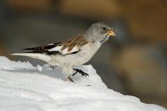 Snowfinch Bianco-alato - i nivalis di Montifringilla sulla neve in alpi nell'inverno Zell vedono, Kaprun Fotografia Stock Libera da Diritti