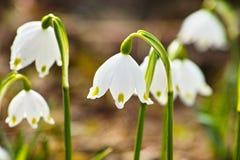 Snowflake άνοιξη κεφάλια λουλουδιών Στοκ Φωτογραφία