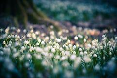 Snowflake άνοιξη τα λουλούδια ανθίζουν, ανθίζοντας στο φυσικό περιβάλλον του δάσους, ξύλα Υπόβαθρο άνοιξη με το ισχυρό bokeh Στοκ Φωτογραφία