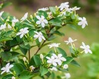 Snowflake ή wrightia λουλούδι antidysenterica Στοκ φωτογραφία με δικαίωμα ελεύθερης χρήσης