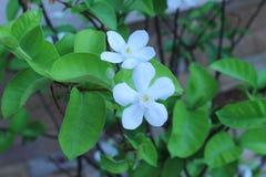 Snowflake ή wrightia λουλούδι antidysenterica Στοκ εικόνες με δικαίωμα ελεύθερης χρήσης