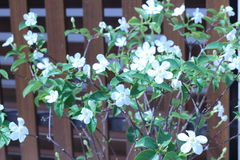 Snowflake ή wrightia λουλούδι antidysenterica Στοκ φωτογραφίες με δικαίωμα ελεύθερης χρήσης