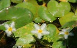 snowflake νερού Στοκ Εικόνες