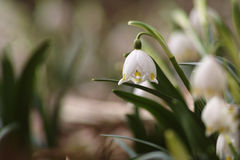Snowflake λουλούδια σε έναν κήπο Στοκ Φωτογραφία