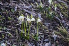 Snowflake λουλούδι, πρώτο λουλούδι άνοιξη Στοκ Εικόνες