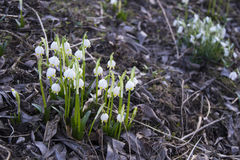 Snowflake λουλούδι, πρώτο λουλούδι άνοιξη Στοκ φωτογραφίες με δικαίωμα ελεύθερης χρήσης