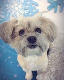 Snowflake σκυλί Shihtzu Στοκ Εικόνες