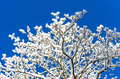 Snowflake χειμερινού ουρανού χιονιού κλάδων μπλε δασικό δέντρο παγετού Στοκ Εικόνες