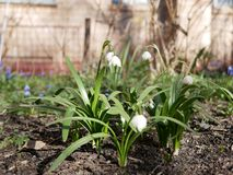Snowflake  bloom in spring in the flower bed near the house. Sunny spring day. Snowflake bloom in spring in the flower bed near the house. Sunny spring day stock photography