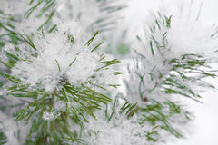 Snowflake on fir branches Stock Image