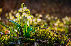 Snowflake, first flowers of spring Stock Images