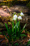 Snowflake, first flowers of spring Stock Image